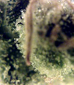 Look at the trichomes under a microscope to learn when to harvest marijuana for the highest THC levels