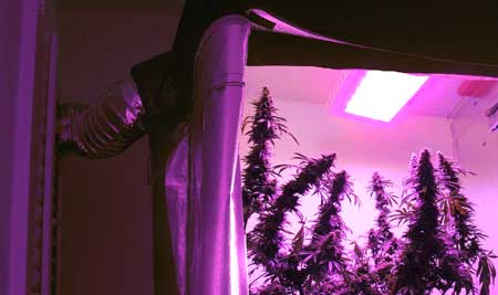 Example of an LED grow light in a tent with an exhaust system to vent out heat