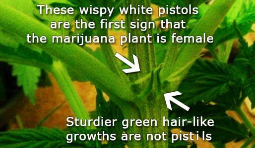 Picture showing the first signs of a female cannabis plant
