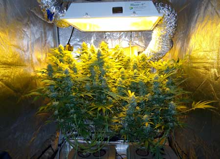 Two cannabis plants growing in a top-fed DWC (bubbleponics) setup under an HPS grow light