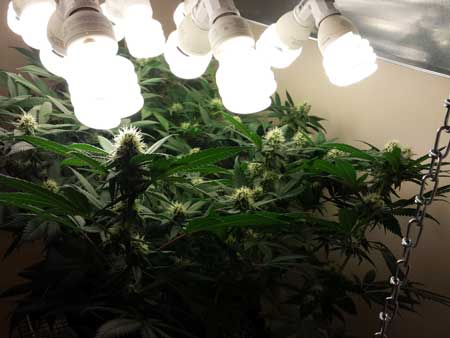Keep CFL grow lights as close to your marijuana buds as possible in the flowering stage, but don't accidentally burn them!