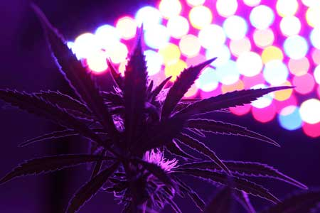 "Example of a cannabis plant ""looking up"" at an LED grow light"