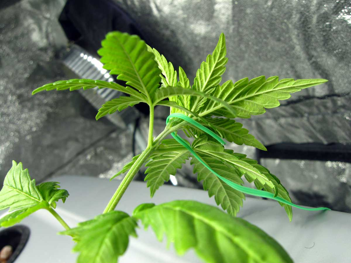 Simplest Cannabis Plant Training Guide | Grow Weed Easy