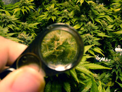 A view of marijuana trichomes through a jewler's loupe