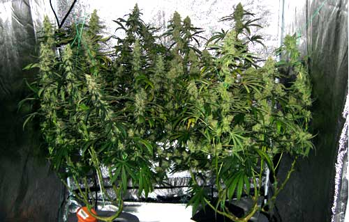 High yielding plants with lots of buds used training techniques such as topping, fiming, supercropping, LST and more to achieve this shape and size