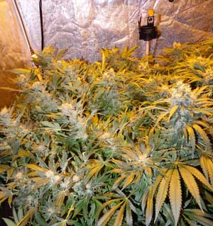 Example of Pineapple Chunk cannabis tent growing in a tent - the buds really do smell like pineapple!