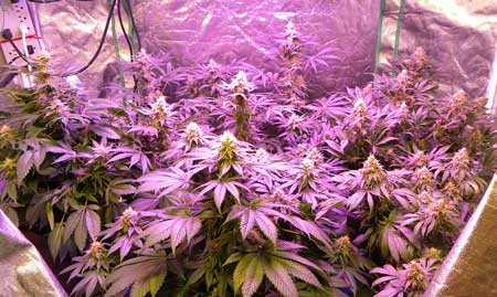 Example of cannabis plants growing under an LED grow light