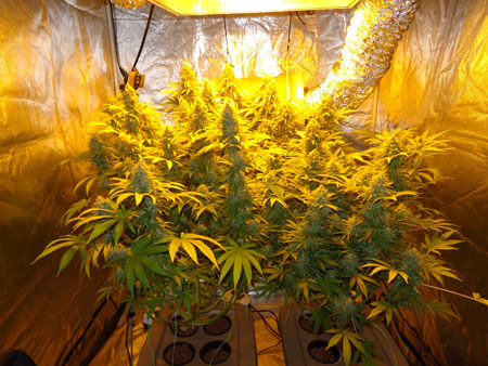 Example of two manifolded cannabis plants with many colas - training makes a huge difference to yields!