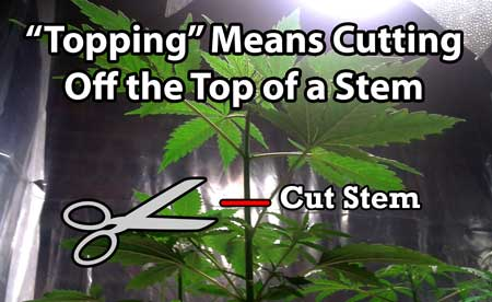 "Definition of ""topping"" cannabis - Topping means to cut off the top of a stem. It can refer to the main stem, but also other stems can also be topped."
