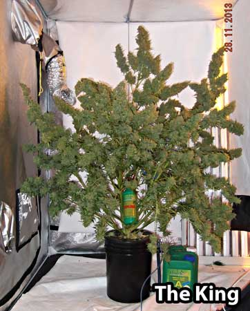 Dutch Passion Auto Mazar cannabis plant produces over 30 ounces of bud