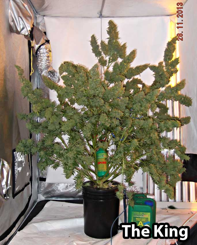 Best Light Schedule for Auto-Flowering Strains? | Grow Weed Easy