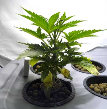 This fast, healthy young vegetative cannabis plant is growing over an inch a day