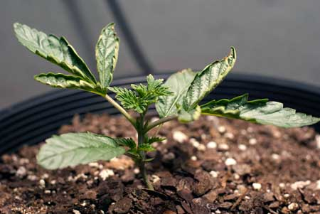 A little heat will cause some problems like leaf tacoing and discoloration, like you can see with this heat-stressed marijuana seedling