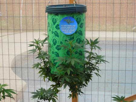 A cannabis plant in a Topsy Turvy will always start growing upwards, and doesn't hang down like a tomato plant
