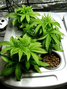 Example of three healthy young DWC hydroponic cannabis plants!