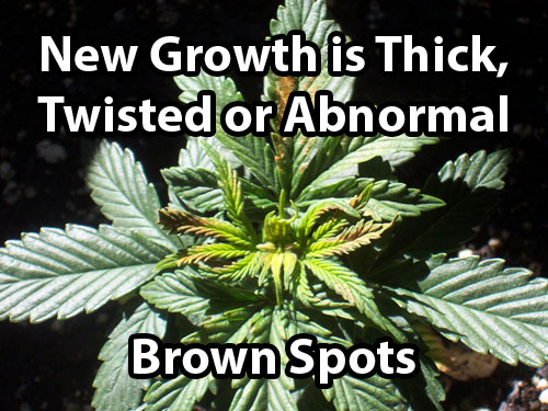This marijuana plant is showing signs of a boron deficiency in it's new growth