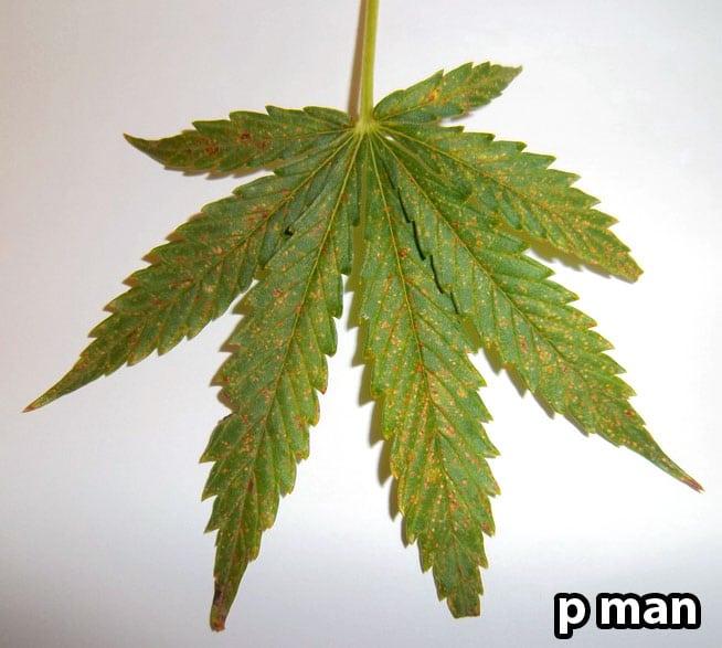 Preventing Nitrogen, Calcium & Magnesium Deficiencies   Grow Weed Easy