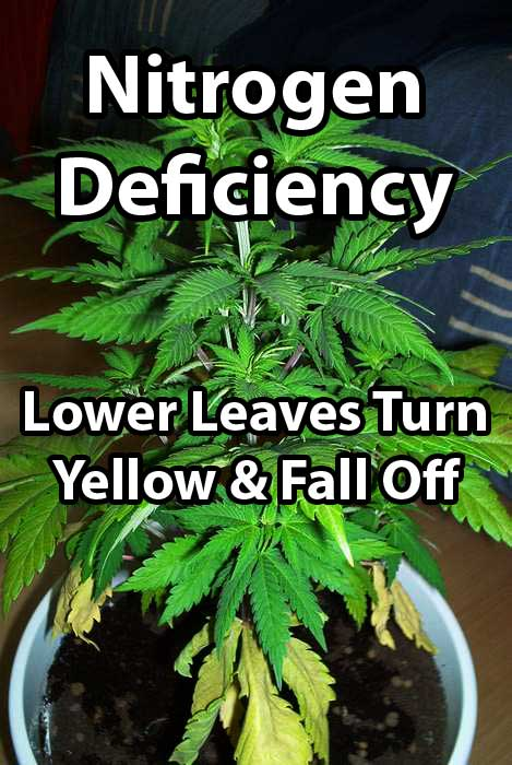 How To Fix Nitrogen Deficiency Yellow Leaves Grow Weed Easy