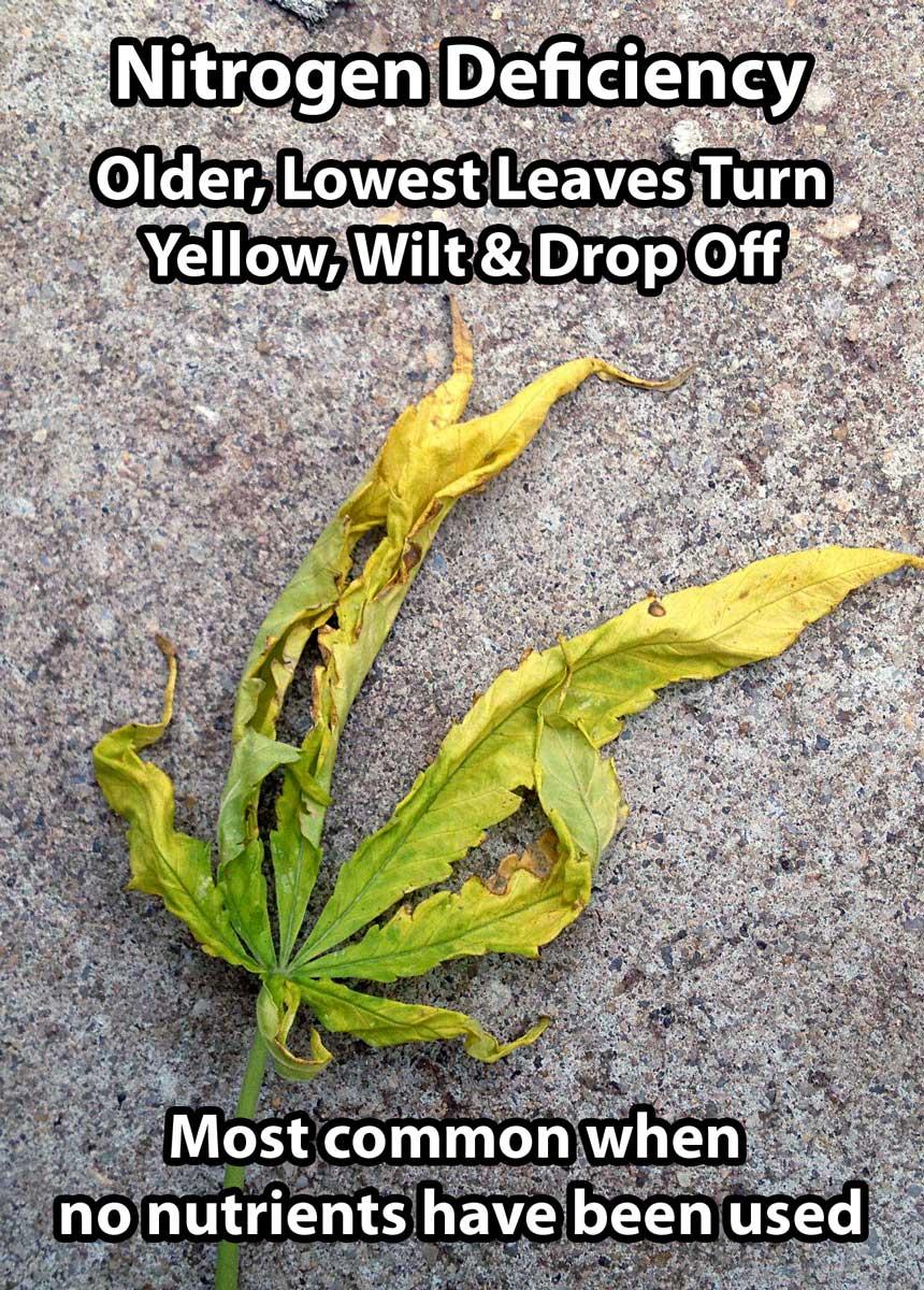 How to fix nitrogen deficiency yellow leaves grow weed easy nitrogen deficiency mightylinksfo