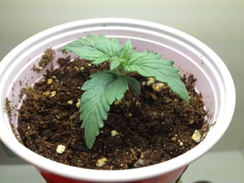 Overwatered marijuana seedling