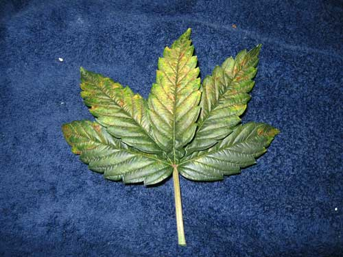 Cannabis phosphorus deficiency in vegetative stage - First lower leaves turn dark, then get brown or bronzy spots, leaves curl downwards and will eventually turn yellow.