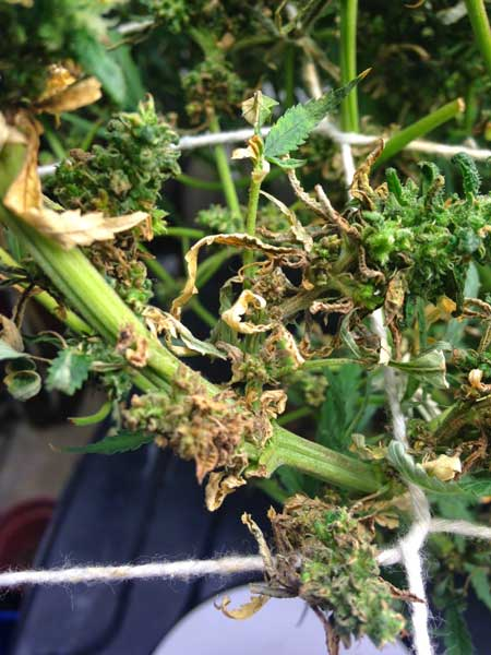 This is an example of what cannabis leaves can look like after the plant starts suffering from cannabis root rot