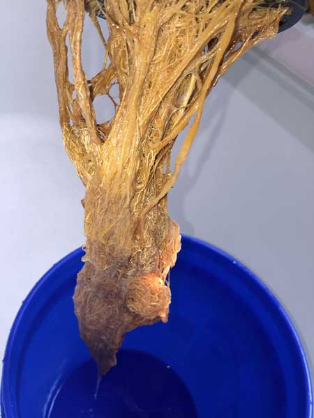 These cannabis roots are brown with root rot - they're slimy, smelly, and will kill your plant if not treated immediately!