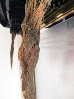"These cannabis roots are brown with root rot. Sick roots often look wound up or twisted like this, and the individual ""strands"" sort of meld together with slime"