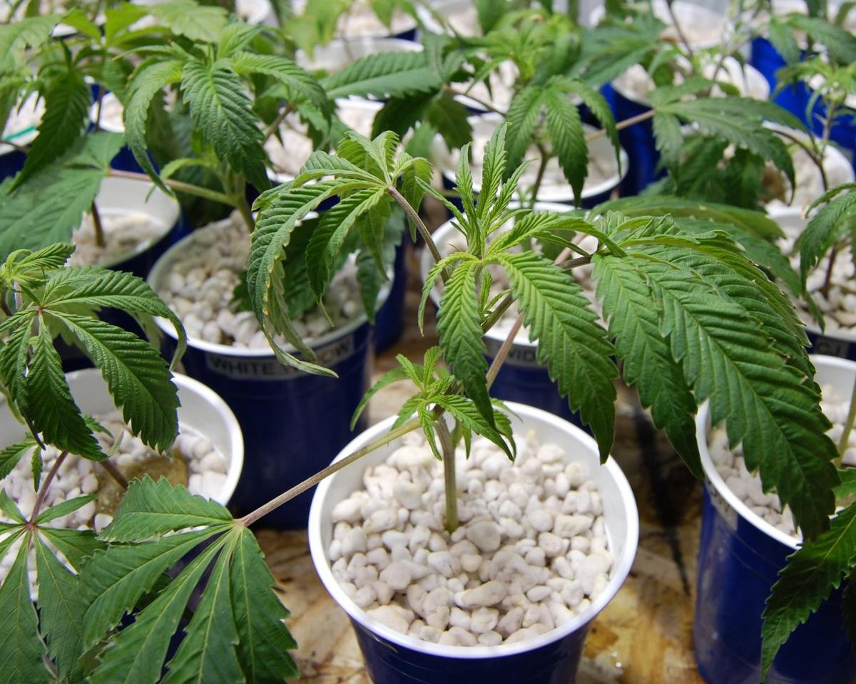 Over watering cannabis plants grow weed easy - How often should you water your garden ...