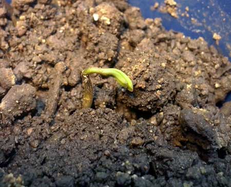 "This seedling started ""damping off"" (dying) due to terrible soil"