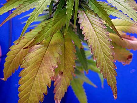 Feuilles roses, décoloration rouge - Bien que cela ressemble à une carence en nutriments, ce plant de cannabis souffre d'un excès d'eau et d'un pot trop petit.