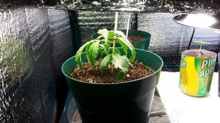 Under-watered cannabis seedling