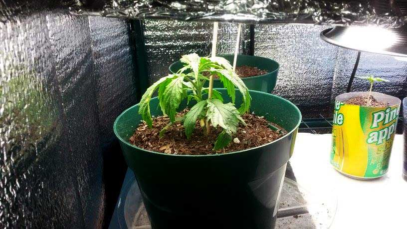 Overwatering vs Underwatering Marijuana | Grow Weed Easy