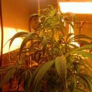 Droopy marijuana plant leaves