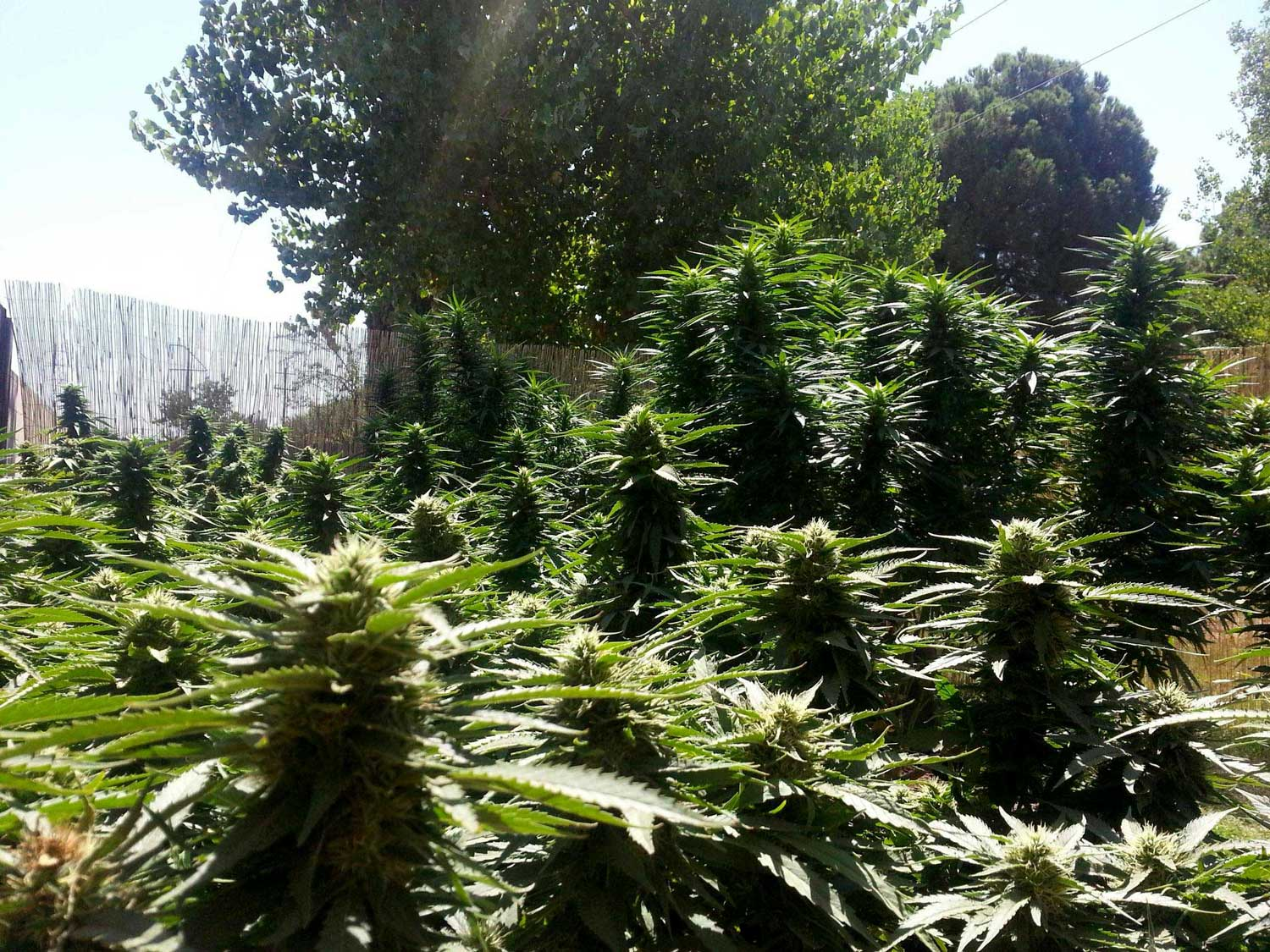 Cannabis Light Periods - What do I need to know about marijuana