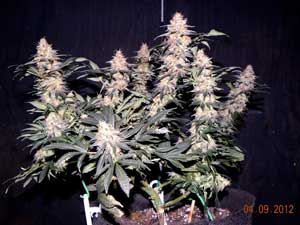 Aurora Indica marijuana grown with LED lights