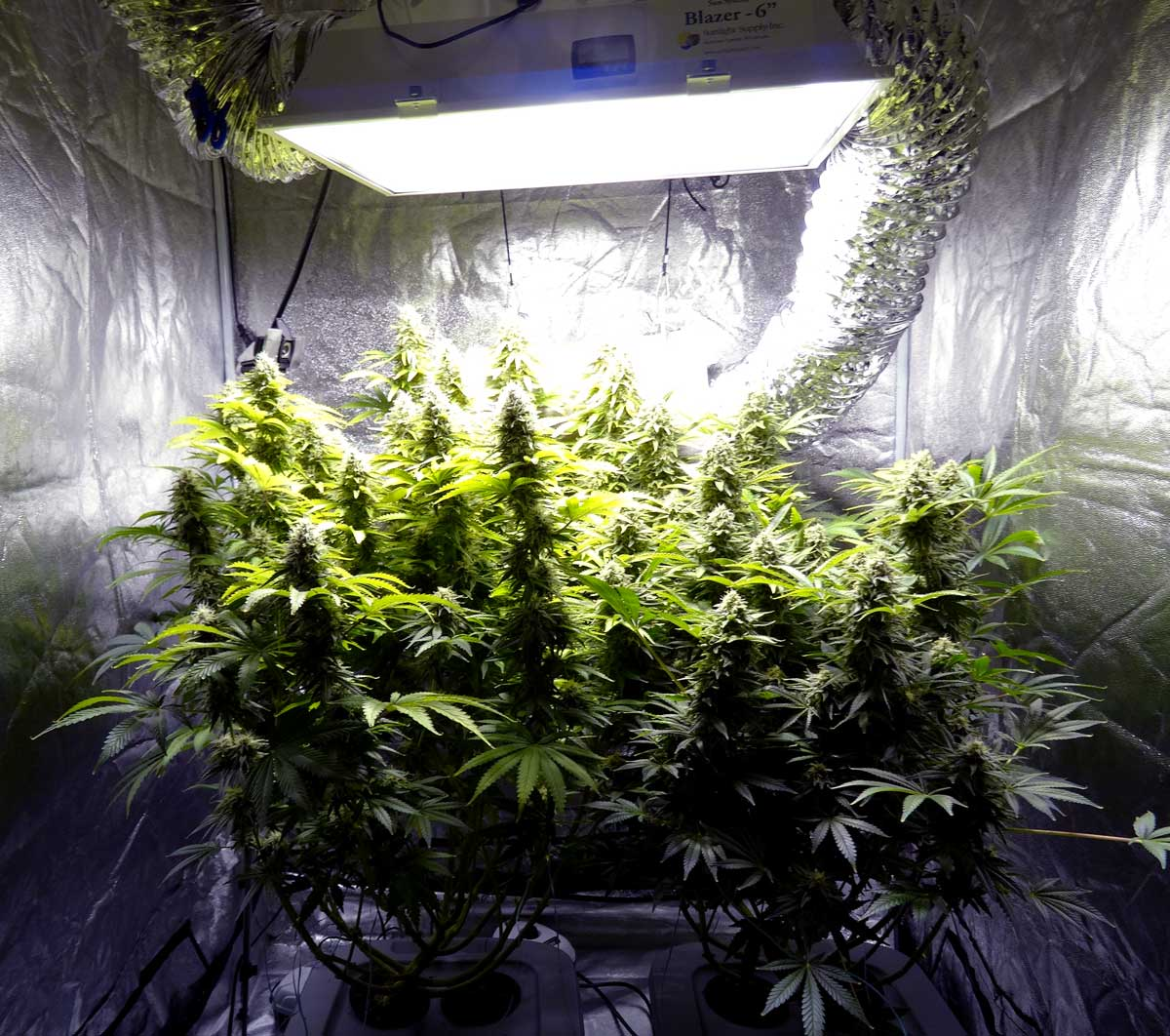 auto blueberry xl plant journal week leds grow case super closet by diaries organic skunk