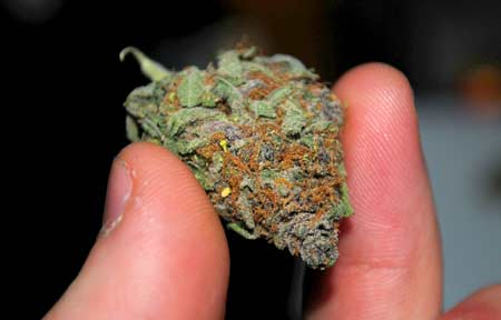 A dense, sparkly and colorful cannabis nug in hand - you can grow marijuana like this at home if you follow the tutorial!