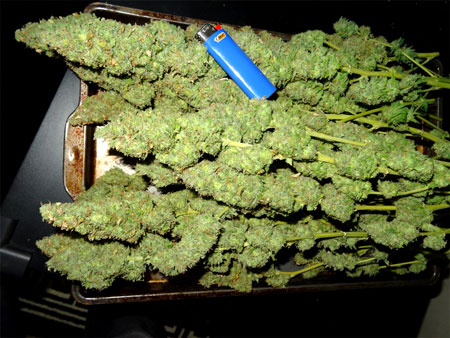 This wasn't even the only tray of buds!