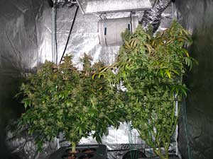Example of two flowering plants that had a 8 week vegetative stage