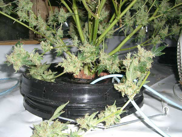 how to clean your system of weed in a week