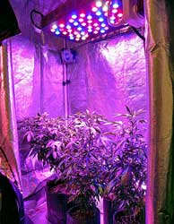 LED grow lights with cannabis plants growing in a grow tent - where in your house should you put your grow tent?