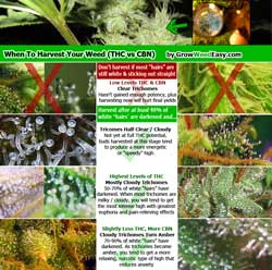 "Click for ""When to harvest marijuana by looking at trichomes"" infographic"