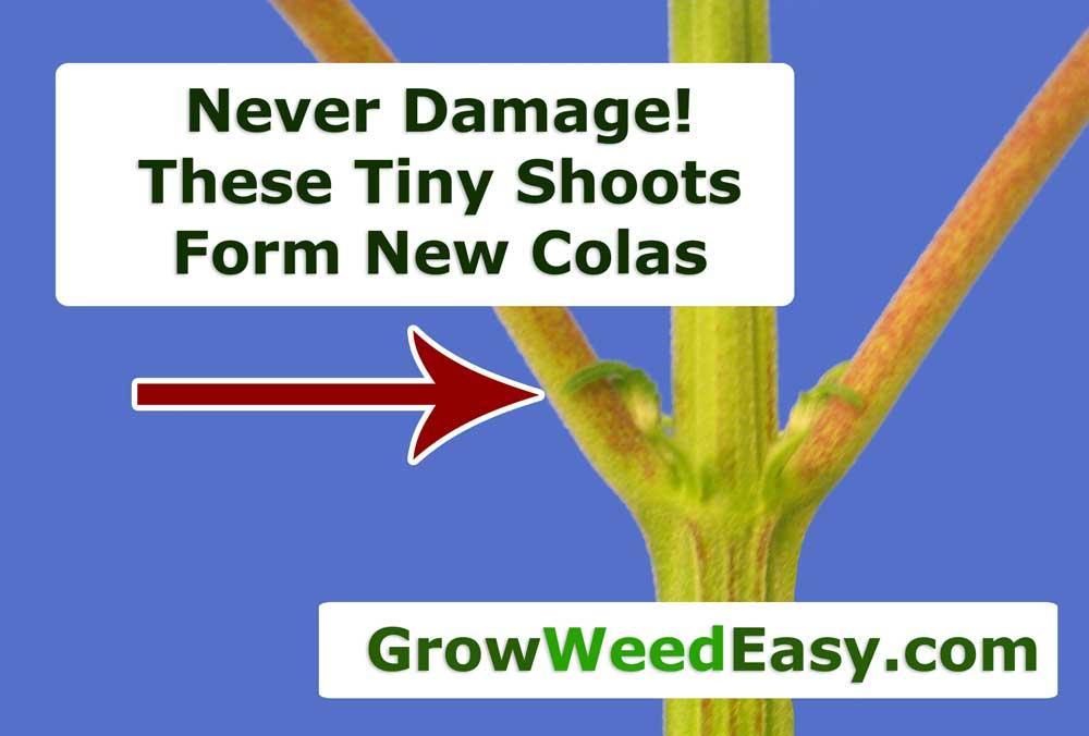 How Do I Control How Marijuana Grows During The Vegetative