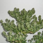 This marijuana plant has been heavily defoliated and is growing huge buds only 5 weeks into flowering