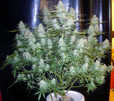 Example of a cannabis plant in the flowering stage, growing big fat buds. In order to get the best yields, you need to use flowering nutrients that contain lots of P and K, but low levels of N