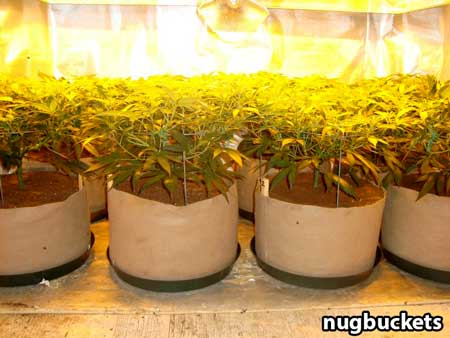 Main-lining produces an effortlessly flat canopy when growing indoors - making good use of your grow lights