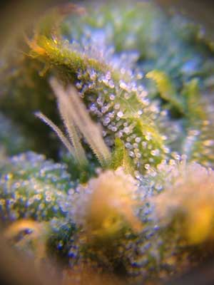 Exodus Cheese Week 7 Flowering Organically Grown marijuana - Impressive Growing Skills, you know who you are ;)