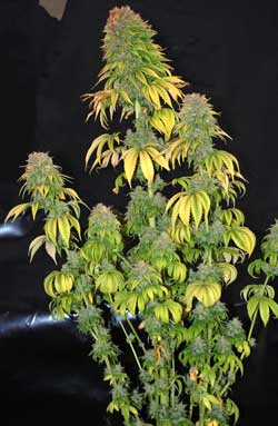 Fat marijuana plant about to be harvested