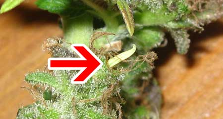 Example of a hermie banana on a cannabis bud